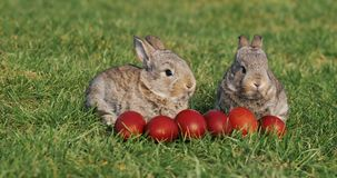 Deux petits lapins gris drôles se reposent dans l'herbe verte parmi les oeufs de pâques rouges banque de vidéos