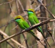 Deux petits mangeurs d'abeille verts. Photographie stock libre de droits