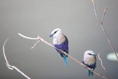 Deux petits oiseaux de geai bleu Photo stock