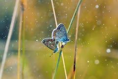 Deux petits papillons se reposant sur l'herbe entourée par des baisses de rosée Images stock