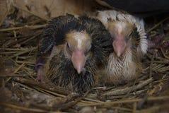 Deux petits pigeons de débutant se reposent dans le nid Photographie stock libre de droits