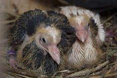 Deux petits pigeons de débutant se reposent dans le nid Image libre de droits
