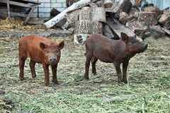 Deux petits porcs Photos libres de droits