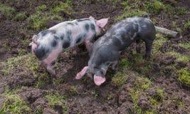 Deux petits porcs de Piétrain s'enracinant dans la boue Photographie stock libre de droits