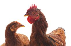 Deux petits poulets photos stock