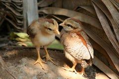 Deux petits poulets Photographie stock