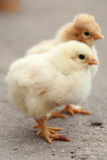 Deux petits poulets photographie stock libre de droits