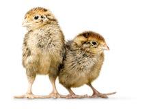Deux petits poulets d'isolement sur le fond blanc photo stock