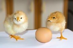 Deux petits poulets pelucheux jaunes se tenant sur une surface blanche dessus Photo stock