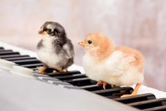 Deux petits poussins sur les clés du piano Les premières étapes en MU images libres de droits