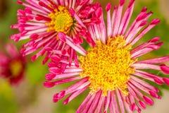Deux peu d'ami de fleur Image stock