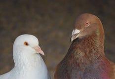 Deux pigeons Image stock
