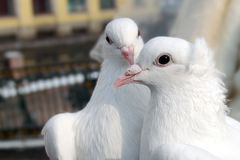 Deux pigeons blancs Photo stock