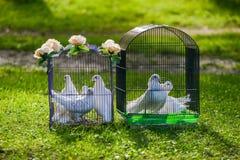 Deux pigeons blancs de mariage dans la cage Photographie stock