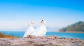 Deux pigeons blancs sur la perche Photographie stock libre de droits
