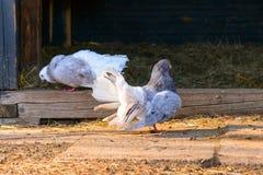 Deux pigeons dans l'arrière-cour Photographie stock