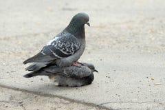 Deux pigeons, lui et elle, amour de l'oiseau au sol, ressort Images stock