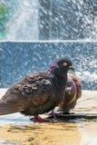 Deux pigeons régénérant dans la fontaine photographie stock libre de droits