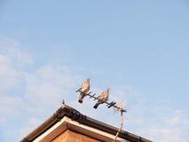 Deux pigeons sauvages reposant la fin ensemble sur un toit de maison Photographie stock