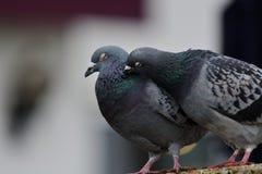 Deux pigeons se lissant Image stock