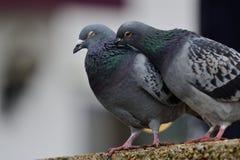 Deux pigeons se lissant Photo libre de droits