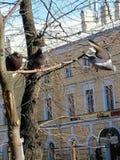 Deux pigeons sur l'arbre, le troisième vole photos stock