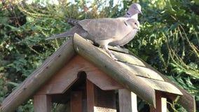 Deux pigeons sur la table d'oiseau, marchant autour et observant soigneusement clips vidéos