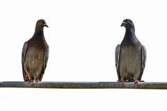 Deux pigeons sur une barre en métal Photo stock