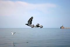 Deux pigeons volant au-dessus de la mer Photographie stock libre de droits