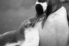 Deux pingouins Images stock