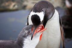 Deux pingouins Photographie stock libre de droits