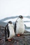 Deux pingouins Photo libre de droits