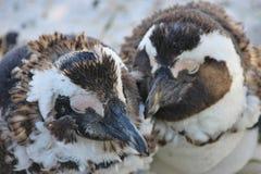 Deux pingouins africains muants reste l'un à côté de l'autre Photos stock