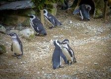 Deux pingouins dans l'amour et des baisers Photos libres de droits