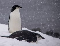 Deux pingouins de jugulaire se reposant en Antarctique photo libre de droits