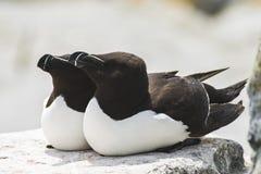 Deux pingouins de petit pingouin sur l'île de joint de Machias, Canada Photos libres de droits