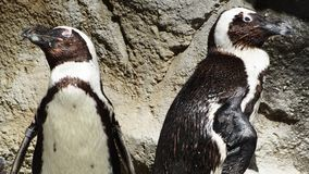 Deux deux pingouins de ton regardant à coté photos libres de droits