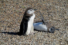Deux pingouins drôles Photo stock