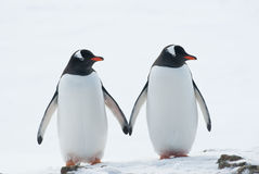 Deux pingouins Gentoo. Photos stock
