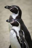 Deux pingouins regardant dessus la vie Photo stock