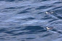 Deux pinguins de jugulaire nageant dans les eaux antarctiques Photo libre de droits