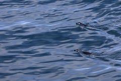 Deux pinguins de jugulaire nageant dans les eaux antarctiques Photos libres de droits
