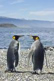 Deux pinguins de roi s'approchent de la mer Photographie stock