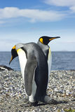 Deux pinguins de roi s'approchent de la mer Image libre de droits