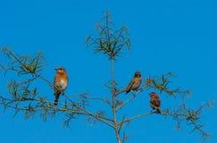Deux pinsons et un oiseau bleu image libre de droits