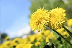 Deux pissenlits ensoleillés jaunes sur une clairière dans une journée de printemps ensoleillée Images libres de droits