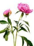 Deux pivoines roses photos libres de droits