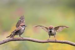 Deux plumes et ailes de ondulation de moineau d'oiseaux sur une branche Photo libre de droits