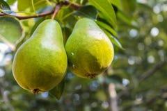 Deux poires vertes dans l'arbre Images stock