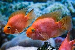 Deux poissons d'aquarium Images libres de droits
